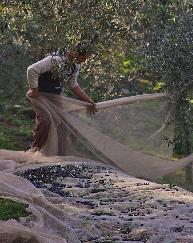 Olivenöl aus eigenem Anbau